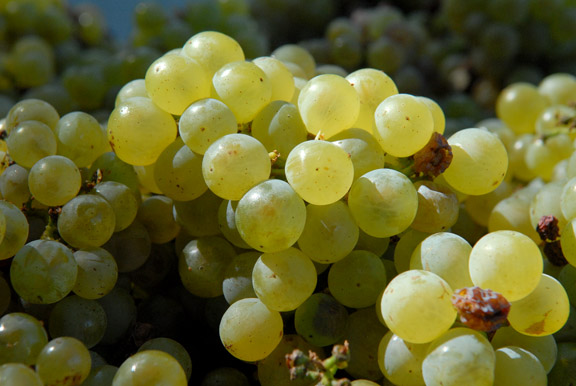 "JUST HARVESTED —€"" Sauvignon blanc grapes await crushing at Lava Cap Winery in Apple Hill. Democrat photo by Pat Dollins"